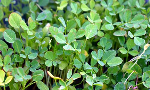 ervas naturais para espinhas