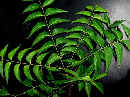 medicina natural para espinhas no couro cabeludo